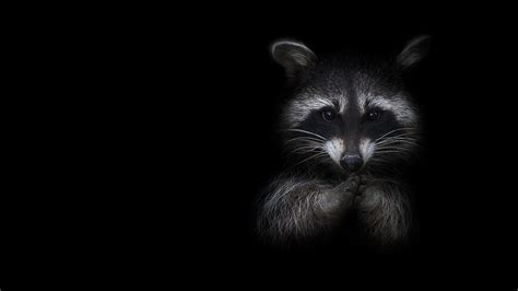 Black Animal Wallpaper - images raccoons animals black background 2048x1152