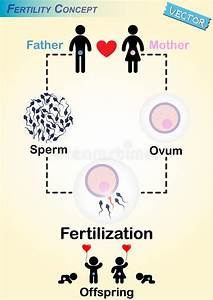 Human Fertilization Diagram Stock Vector