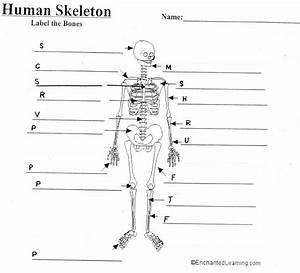 Unlabeled Human Skeleton Diagram
