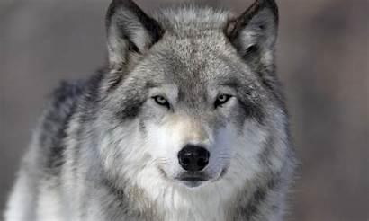 Wolf Gray Dangerous Species Face Horizontimes Facts