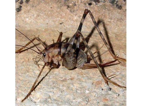 Stop Camel Crickets From Invading Your Home  Garden City. Colorful Kitchen Islands. Cheap Integrated Kitchen Appliances. Backsplash Kitchen Tiles. Cooks Brand Kitchen Appliances. How To Install A Glass Tile Backsplash In The Kitchen. Kitchen Lighting Over Table. Light Above Kitchen Sink. Marble Kitchen Island Table