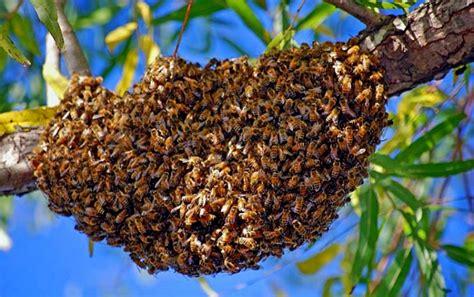 table de cuisine occasion essaim à vendre en normandie achat d 39 essaims d 39 abeilles