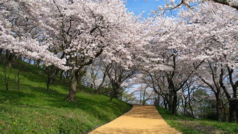 japan nature cherry blossoms  wallpaper high