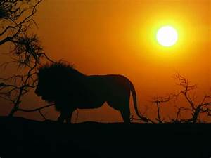 Lion HD Wallpapers