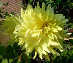 Gelbe Fensterrahmen Wieder Weiss : dahlien dahlia farbenpr chtige herbstbl her jk 39 s pflanzenblog ~ Markanthonyermac.com Haus und Dekorationen