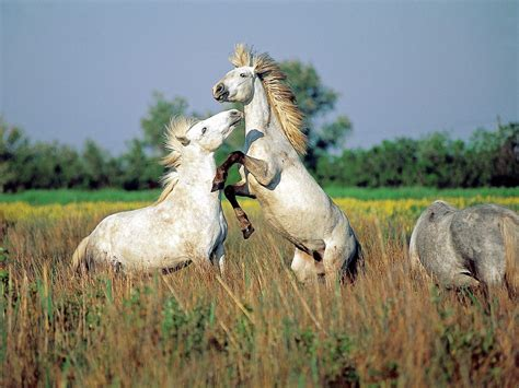 horses wild running wallpapers hd animals horse stallions animal camargue backgrounds nature caballos wildlife