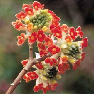 red dragon paperbush edgeworthia chrysantha plants
