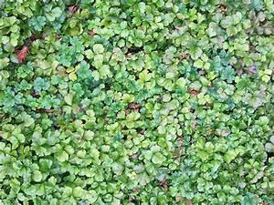 Pflanzen Sonniger Standort : teppich golderdbeere pflanze waldsteinia ternata staude ~ Michelbontemps.com Haus und Dekorationen