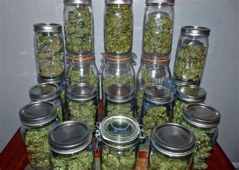 chambre de sechage cannabis séchage et curing des têtes de cannabis