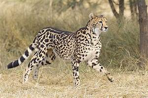 What Is The King Cheetah