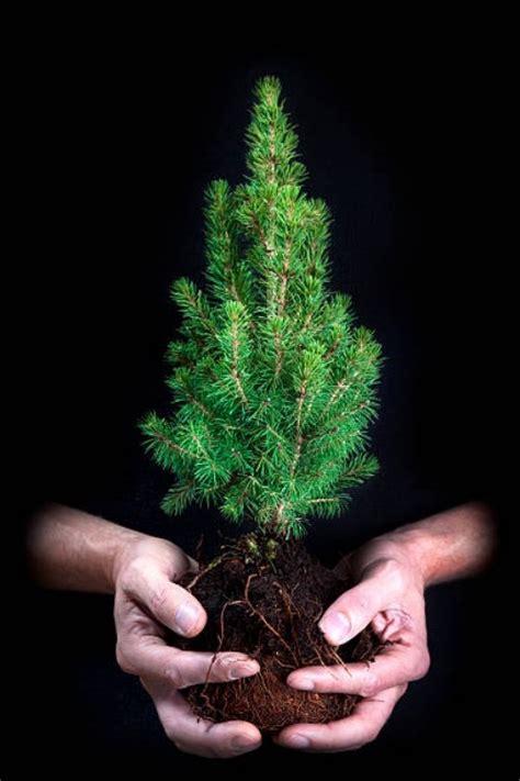 kleiner weihnachtsbaum im topf weihnachtsbaum im topf richtig pflegen und noch viele