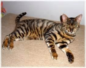 toyger breed cat information pictures
