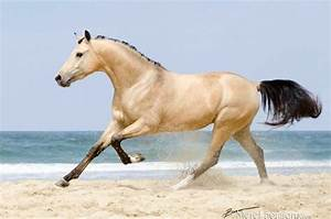 Buckskin horse running on the beach | Horses - Cream ...