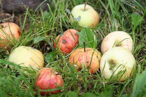 Cēsīs bojātos ābolus bez maksas pieņem katru dienu - cesis ...