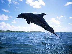 Dolfijnen Achtergronden | HD Wallpapers