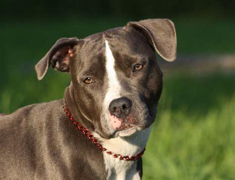 stella american staffordshire terrier deutscher boxer