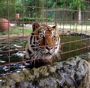 Private Tiger Ownership In U S