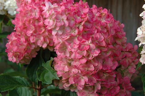 strawberry vanilla hydrangea vanilla strawberry hydrangea plant library pahl s