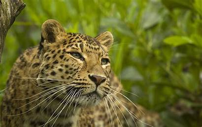 Animal Leopard Wild Desktop 4k Park Wallpapers