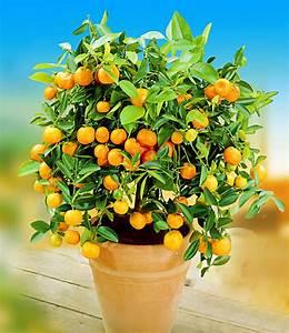 Tulpen Im Topf In Der Wohnung : zitronen orangenbaum top qualit t online kaufen baldur garten ~ Buech-reservation.com Haus und Dekorationen