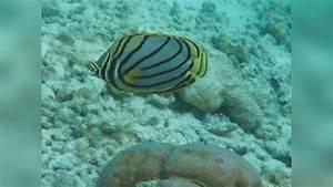 Chaetodon meyeri Meyers Butterflyfish, Maypole ...