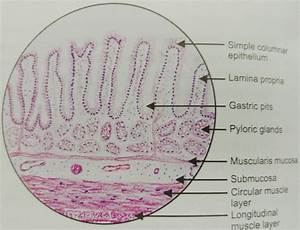 Histology Of Pylorus Stomach   U2013 Manage Your Time 1996