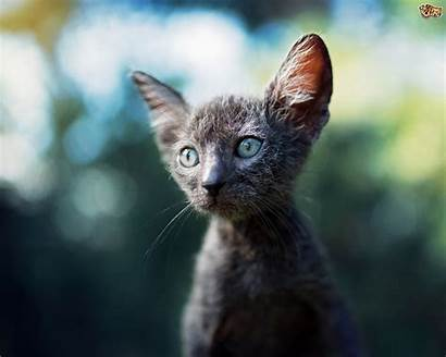 Lykoi Cat Breed Werewolf Pets4homes Breeding Kitten