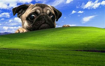 Pug Xp Windows Dog Backgrounds Desktop Background