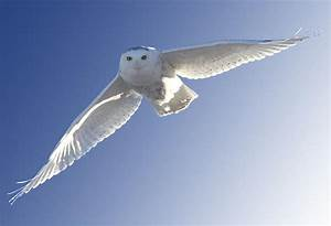 Snowy Owl In Flight Digital Art by Mark Duffy