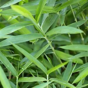 Bambous En Pot : bambou fargesia boo en pot de 2 l bambous balcon et ~ Melissatoandfro.com Idées de Décoration