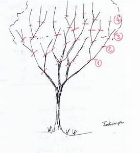 Taille De Cerisier : la taille des abricotiers tailler un abricotier bergeron ~ Melissatoandfro.com Idées de Décoration