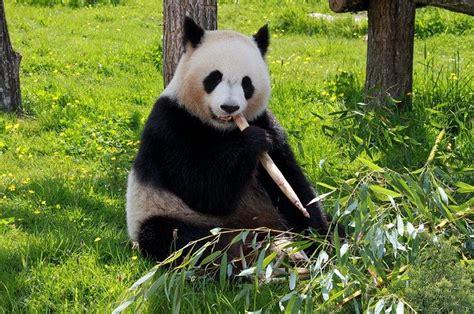photo panda beauvalle fauna animals  image