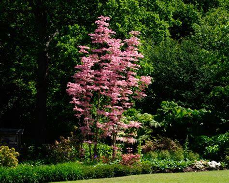 Plants Online Nursery by Gardensonline Toona Sinensis