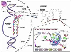 Transcription  Protein And Dna On Pinterest