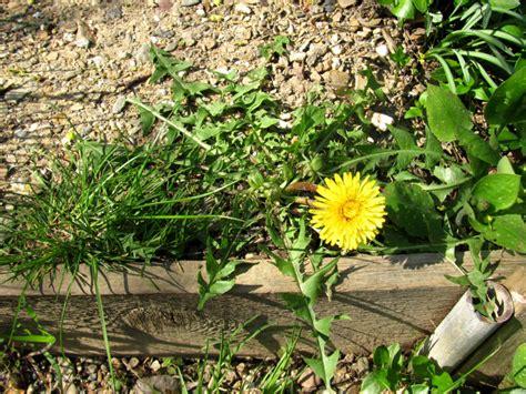 Löwenzahn Im Garten » Gartenbobde Der Gartenratgeber