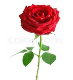 stem roses blättern ausschneiden stock foto colourbox