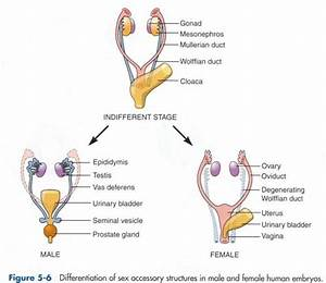 10  Images About Embryology On Pinterest