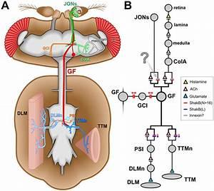 The Drosophila Giant Fiber Escape Circuit   A  Diagram Of The Anatomy