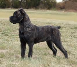 cane corso information dog breeds picture
