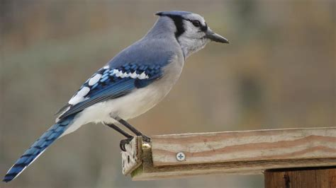 what does a female blue jay look like reference com