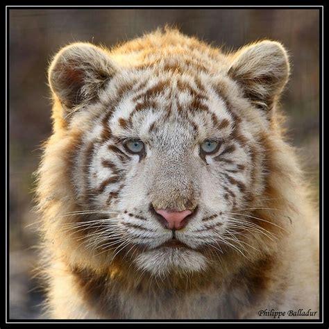 Tigon Hybrid Male Tiger Lioness Not Occur