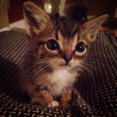 Tiny Miracle Kitty With Huge Ears And A Big Heart Love Meow