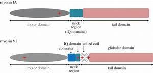 Diagram Structure Of Myosin Ia And Myosin Vi  Schematic Of