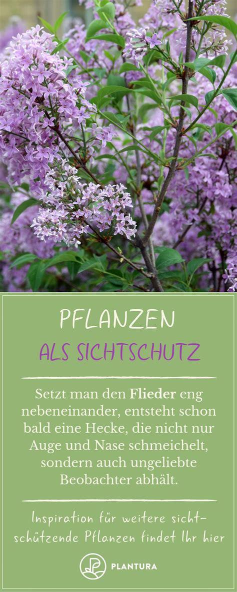 hortensien wann pflanzen lavendel wann pflanzen wie pflegen swerrelo