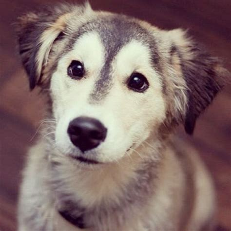 non shedding husky cross a beginner s guide to husky golden retriever mix with