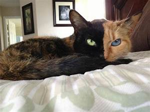 Meet Venus, A Cat With Two Faces | Bored Panda