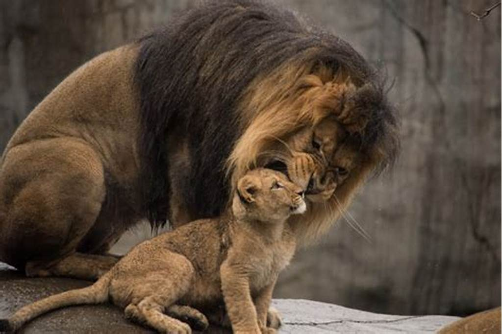 #Lion #Cubs #Greeted #With #Roars #In #First #Meeting #With #Dad