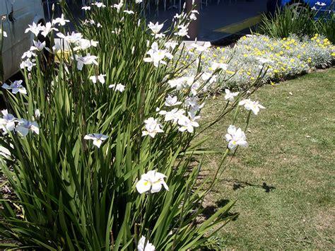 Garten Pflanzen Shop by Dietes Iris Hello Hello Plants Garden Supplies