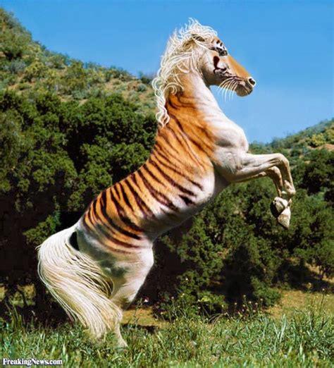 Hybrid Animals Tiger Mixed Breed