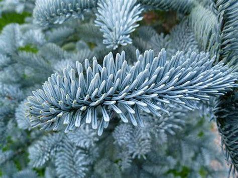 abies procera glauca blue noble fir plant lust